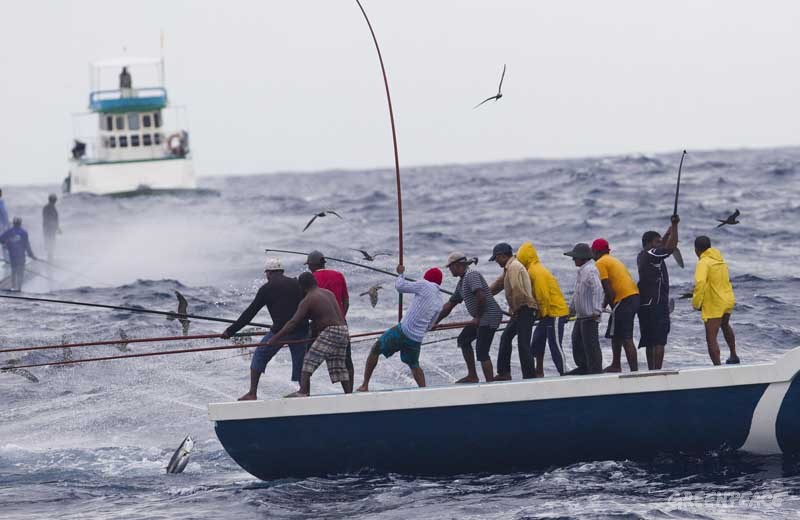 Pole and line fishermen land skipjack tuna in the Maldives. Pole and line fishing is a selective, sustainable and equitable method of catching tuna. Greenpeace is on an expedition in the Indian Ocean to expose overfishing and to highlight the problems associated with excessive tuna fishing, unsustainable and illegal fishing practices.